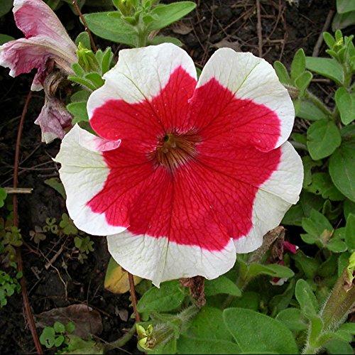 AL 300 Petunia Seeds Skirt Edge Petunia Skirt Edge Garden Home Bonsai Balcony Flower