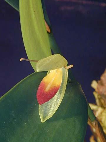 Pleurothallis medinae - Orchid Plant - Stick Mounted Plant - indigenous to Ecuador