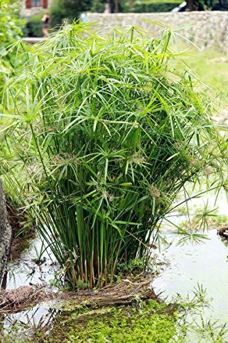 40 Premium Seeds Cyperus alternifolius Umbrella Plant Water Garden Plant Flower by yunakesa