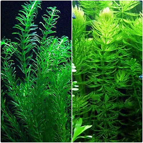 Anacharis and Hornwort Bundle for Ponds and Aquariums
