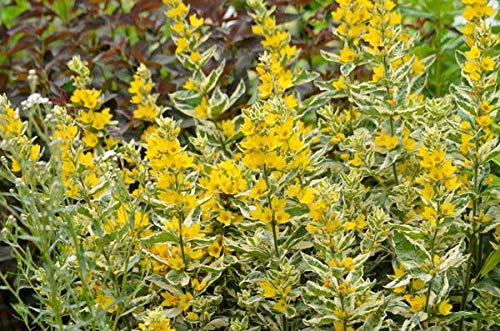 FIOLTY Seeds Package 1 LTR  Lysimachia Punctata Alexander en Candles Or en Spire - Marginal Pond P