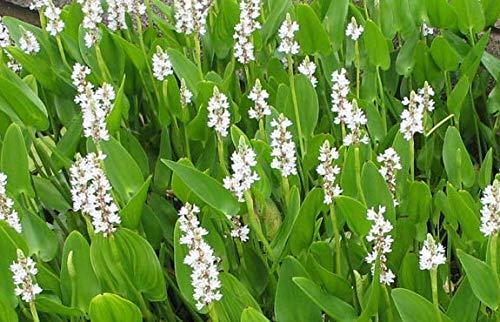 FIOLTY Seeds Package 1 LTR  Pontederia  White Pickerel - Marginal Pond Seeds - Pond P