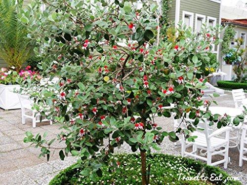 Pineapple Guava Live Fruit Tree Live Plant Fit 5 Gallon Pot Aka Feijoa Sellowiana W Free Decorative Poly Bag