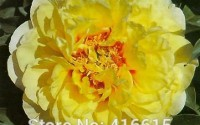 Herbaceous-Peony-Seeds-Paeonia-Bartzella-Seeds-Yellow-Color-Peony-Flower-Seeds-Bonsai-Perennial-Garden-Plant-Seeds-3.jpg
