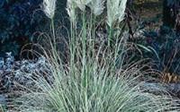 Pampas-Grass-White-100-Seeds11.jpg