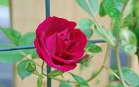 Climbing-Rose-Seeds-Climber-Fire-Red-Perennials-Flower-300-Seeds-6.jpg