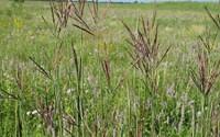 1000-Big-Bluestem-Seed-Native-Warm-Season-Grass-11.jpg