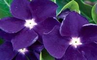 40-Vinca-Sunstorm-Purple-Periwinkle-Flower-Seeds-Annual5.jpg