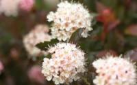 CoppertinaTM-Ninebark-Perennial-Shrub-Physocarpus-Proven-Winners-7.jpg