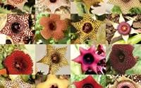 Huernia-Mix-Rare-Asclepiad-Plant-Caralluma-Exotic-Orbea-Cactus-Succulent-5-Seeds22.jpg