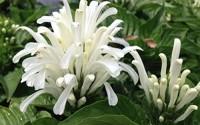 Emeralds-Tm-Brazilian-Plume-White-Flower-Justicia-Carnea-Alba-Jacobina-Shade-Garden-Perennial-4-Inch-Pot17.jpg