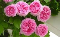 300-Pcs-Climbing-Rose-Seeds-Pink-Perennials-Flower-Bulk-2.jpg