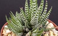 Haworthia-Attenuata-Zebra-Zebrina-Exotic-Rare-Succulent-Cactus-Plant-Cacti-4-quot-8.jpg