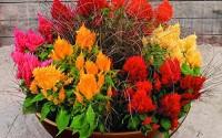 Celosia-Pampas-Plume-Mix-50-Seeds-11.jpg