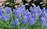 HYACINTH-GRAPE-BULBS-20-PACK-BEAUTIFUL-PURPLE-PERENNIAL-HYACINTH-BULBS-PURPLE-FLOWERS-33.jpg