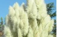 Spectacular-White-Pampas-Ornamental-Grass-Seeds17.jpg