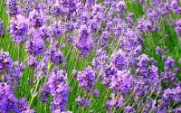 Vera-Lavender-100-Seeds-200-Mg-Perennial20.jpg