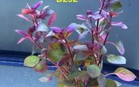 Exotic-Live-Aquatic-Plant-for-Fresh-Water-Ludwigia-repens-rubin-Bundle-B292-by-Jayco-BUY-2-GET-1-FREE-34.jpg