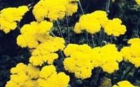 Achillea-Yarrow-Coarctaca-Gold-Coin-Dwarf-Perennial-Seeds-26.jpg