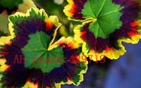 100-pcs-rare-japan-Geranium-Seeds-Perennial-Flower-Pelargonium-Peltatum-Seeds-Indoor-Rooms-for-ornamental-plant-Easy-to-grow-43.jpg