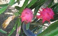 Dragon-fruit-pitaya-cactus-exotic-plant-seed-100-seeds-26.jpg