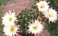Echinopsis-leucantha-rare-cactus-plant-flowering-succulent-cacti-seed-50-seeds-38.jpg