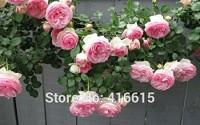 Brend-Hot-100-Rose-Eden-Climber-Seeds-Climbing-Rose-Seeds-Bonsai-Flower-And-Garden-Plants-Seeds-26.jpg