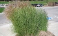 Switchgrass-Native-Grass-Seed-Panicum-virgatum-is-a-summer-perennial-grass-100-9.jpg