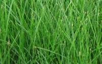 Tall-Fescue-Grass-Seed-Festuca-Arundinacea-Lawn-Grass-10000-Seeds-6-Grams-38.jpg